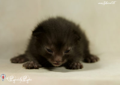 1er Chatons Lykoi nés en Suisse - 20