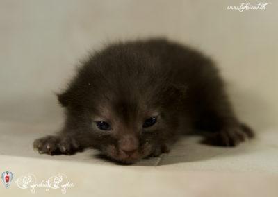 1er Chatons Lykoi nés en Suisse - 24