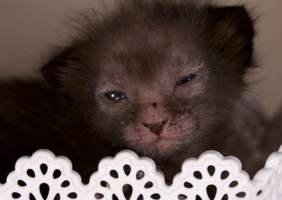 Chatons Lykoi 2 semaines - 26